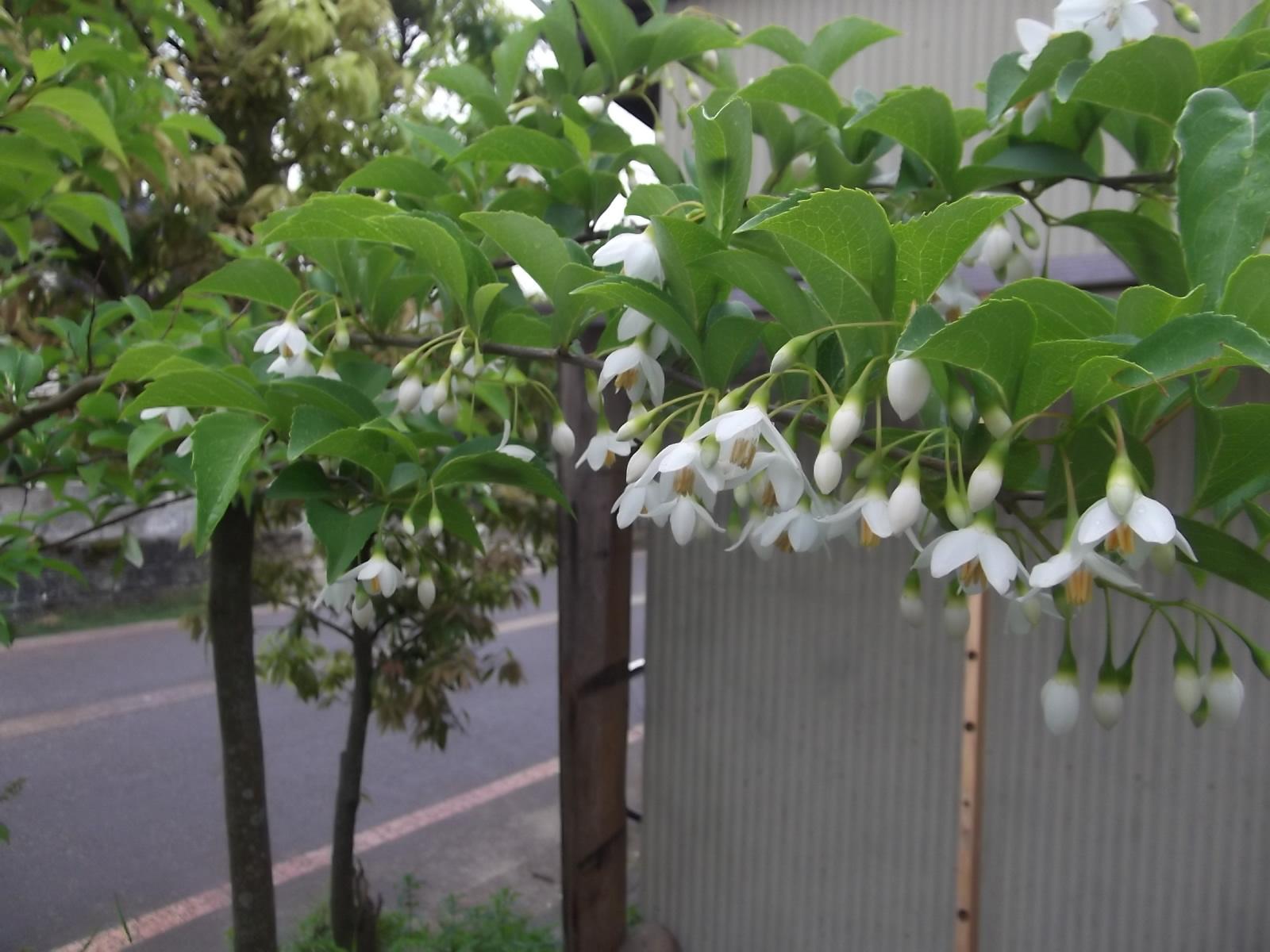 エゴノキ・アヤメ・ほか_a0203003_13595461.jpg