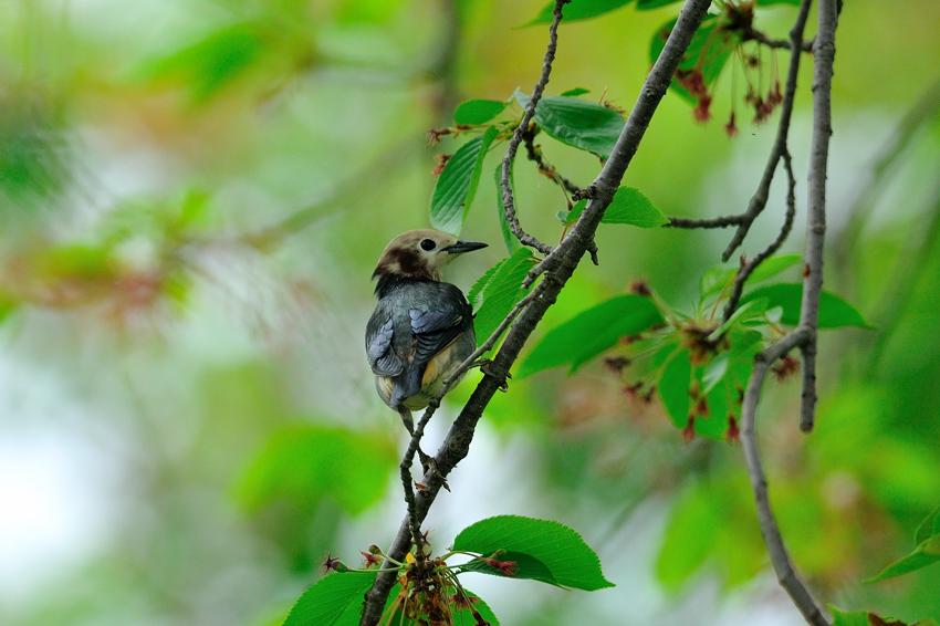 コムクドリ(Chestnut-cheeked Starling )~2012.05_b0148352_15533657.jpg