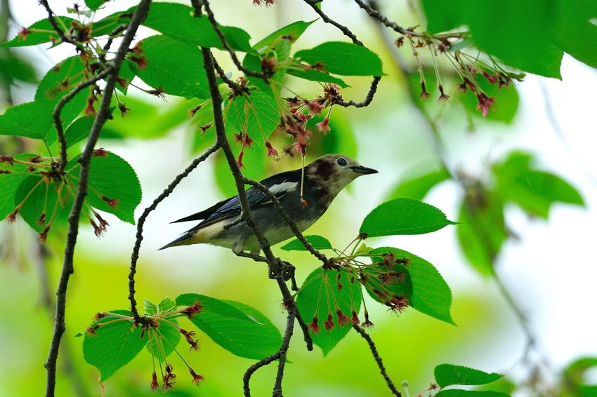 コムクドリ(Chestnut-cheeked Starling )~2012.05_b0148352_15535031.jpg