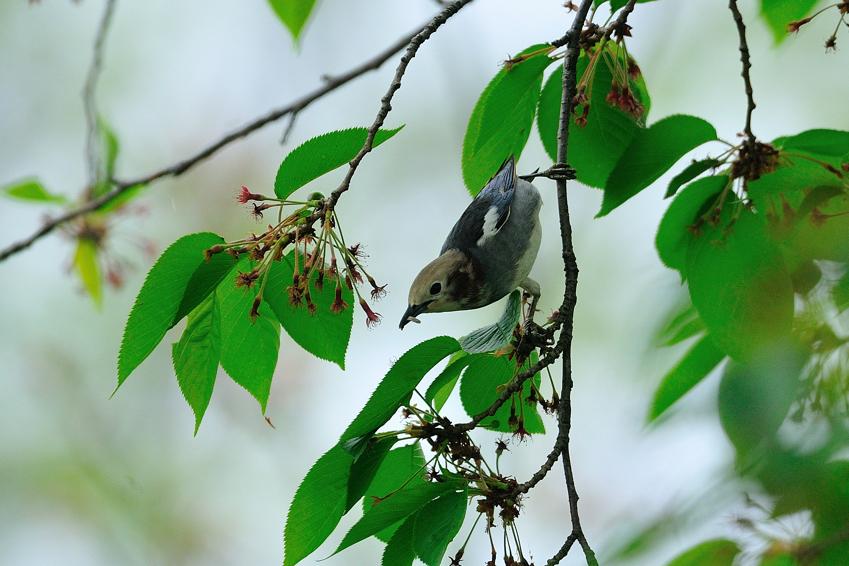 コムクドリ(Chestnut-cheeked Starling )~2012.05_b0148352_1554222.jpg