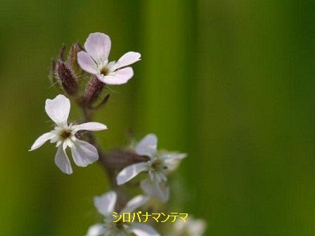 初夏の野草たち_b0175688_15504337.jpg