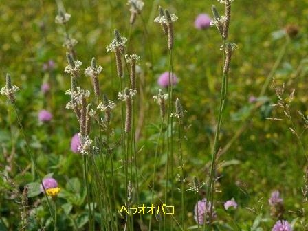 初夏の野草たち_b0175688_15543032.jpg