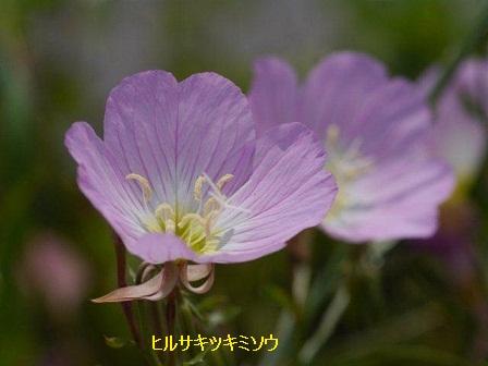 初夏の野草たち_b0175688_15551264.jpg