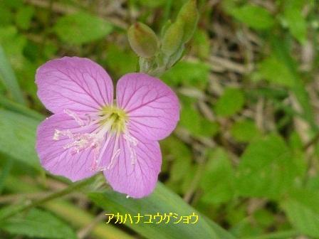 初夏の野草たち_b0175688_15583550.jpg