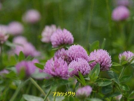 初夏の野草たち_b0175688_16133665.jpg