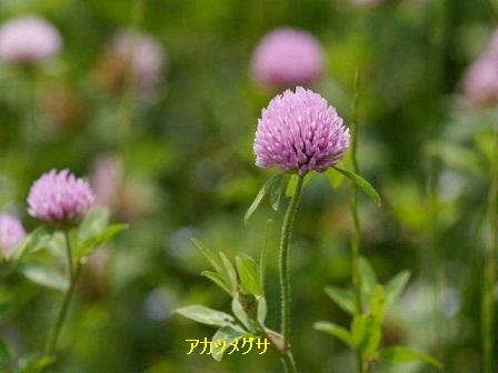 初夏の野草たち_b0175688_16134687.jpg