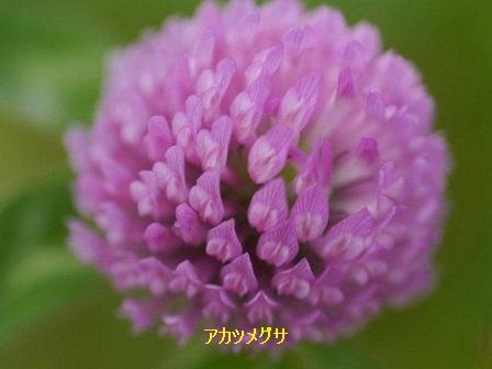 初夏の野草たち_b0175688_16143796.jpg