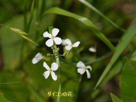 初夏の野草たち_b0175688_16285921.jpg
