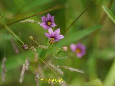初夏の野草たち_b0175688_1675561.jpg