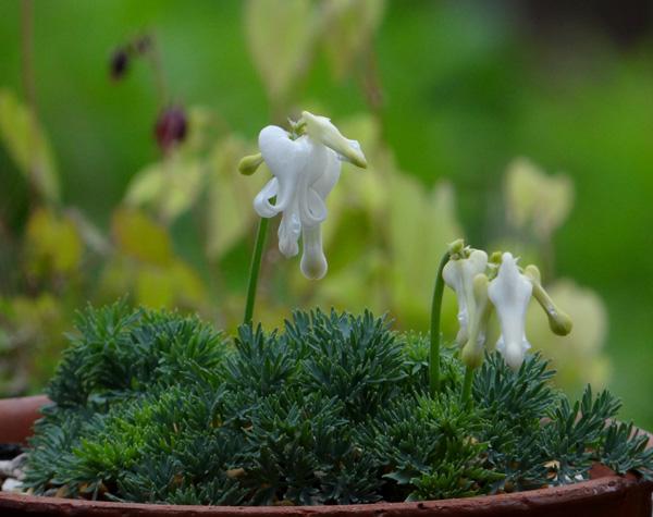 コマクサ(白花)、小山飾りなど♪_a0136293_19563.jpg