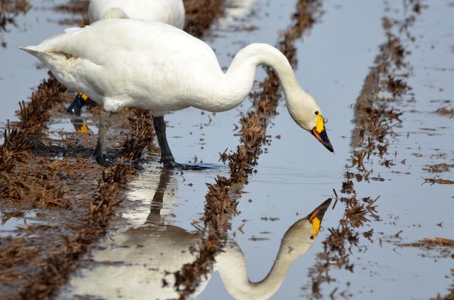 コハクチョウの採餌とオオハクチョウの離陸。_b0165760_1365920.jpg