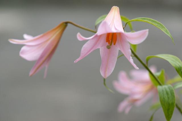 自宅の花(11) ヒメサユリ_b0223668_5371432.jpg