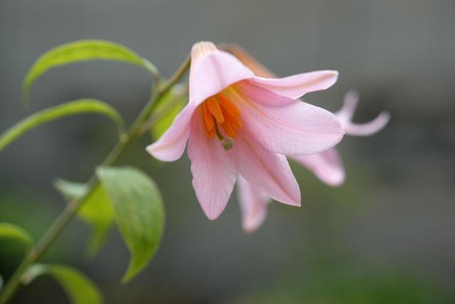 自宅の花(11) ヒメサユリ_b0223668_5391410.jpg