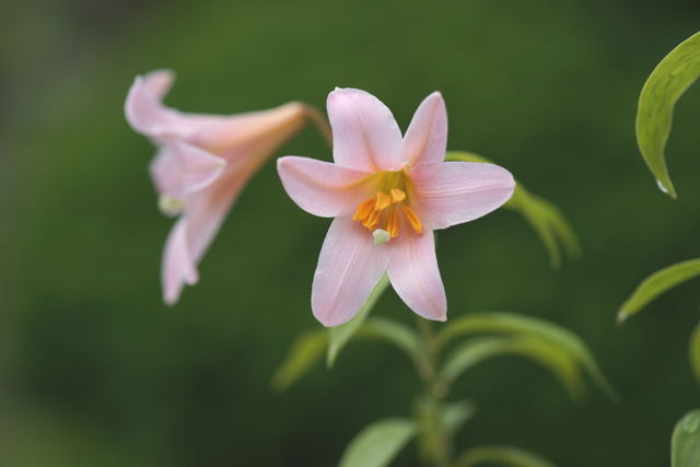 自宅の花(11) ヒメサユリ_b0223668_5394416.jpg
