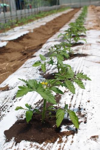 ミニトマト苗を植える_c0110869_21245137.jpg