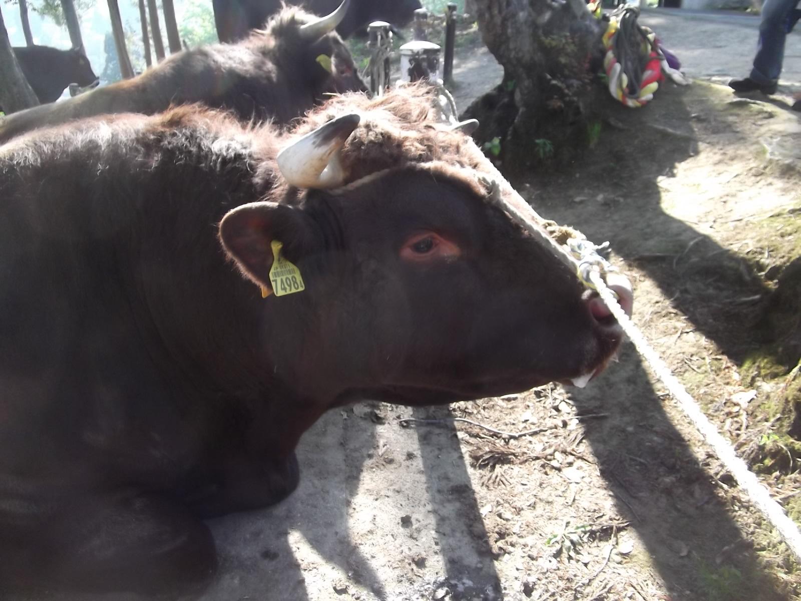 山古志の牛の角突き_a0203003_21242236.jpg