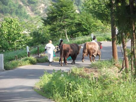 山古志の牛の角突き_a0203003_21275137.jpg