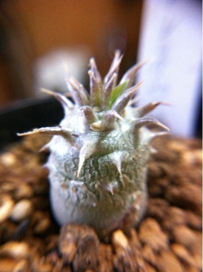 おととし買って去年でっかくなったシバの女王の玉櫛(Pachypodium... 中身がこぼれてし