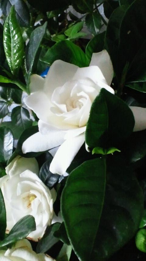 甘い香〜くちなし〜_f0145713_627242.jpg