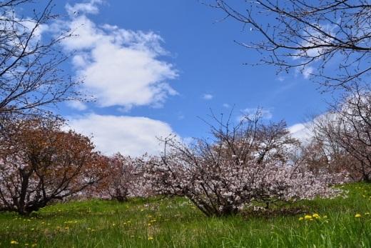 2012年5月27日(日):サクラからスモモへ[中標津町郷土館]_e0062415_1842719.jpg