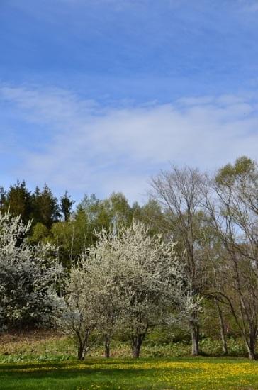 2012年5月27日(日):サクラからスモモへ[中標津町郷土館]_e0062415_1852362.jpg