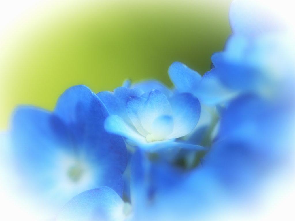 すべての講義 あじさいの絵 : ... カット絵 150+ 【梅雨の紫陽花