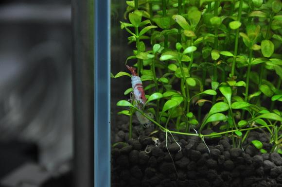 The stories of rili shrimp ルリーシュリンプのお話_a0262622_2095472.jpg