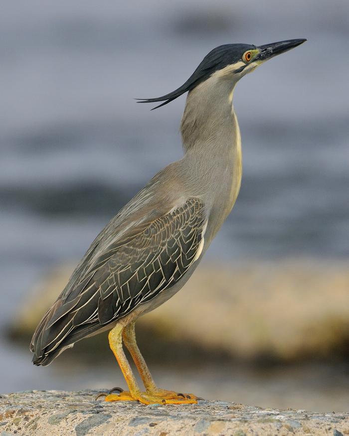 ササゴイ(Striated Heron)~2012・05_b0148352_8515684.jpg