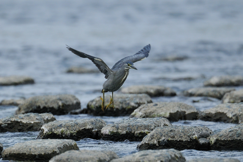 ササゴイ(Striated Heron)~2012・05_b0148352_8525858.jpg