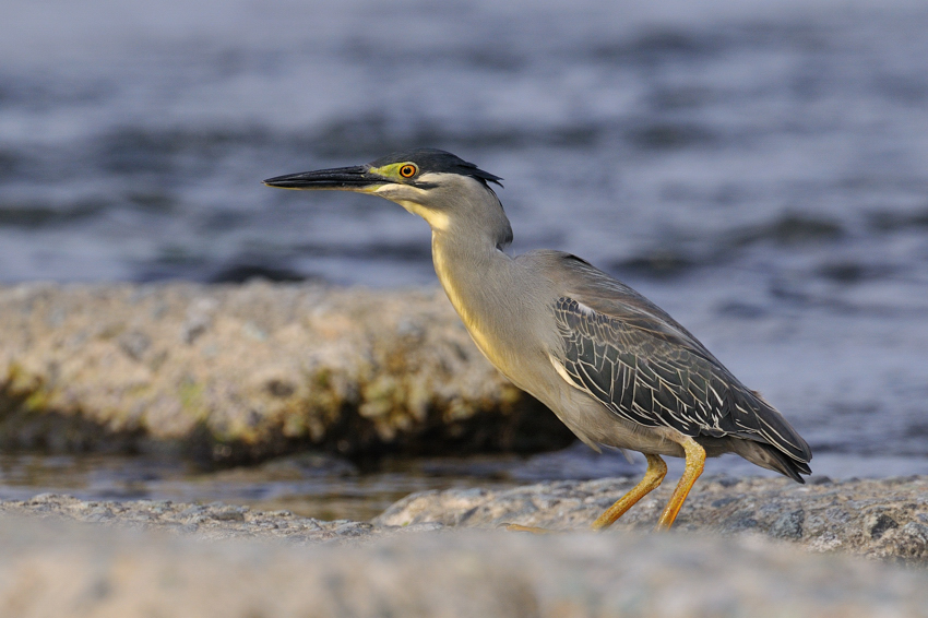 ササゴイ(Striated Heron)~2012・05_b0148352_8531699.jpg