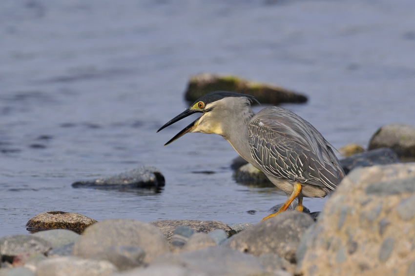 ササゴイ(Striated Heron)~2012・05_b0148352_853742.jpg