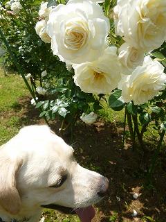 Rose garden   代々木公園♪_a0165160_6335685.jpg