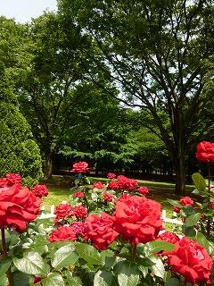 Rose garden   代々木公園♪_a0165160_640432.jpg