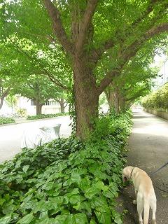 new green leaves  代々木~外苑前♪_a0165160_7273943.jpg