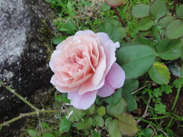 バラが咲き始めました_e0201009_0223529.jpg