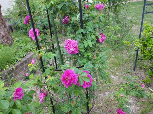 バラが咲き始めました_e0201009_0224736.jpg