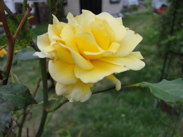 バラが咲き始めました_e0201009_0231361.jpg