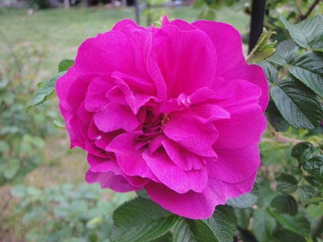バラが咲き始めました_e0201009_023198.jpg