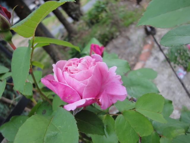 バラが咲き始めました_e0201009_0234172.jpg
