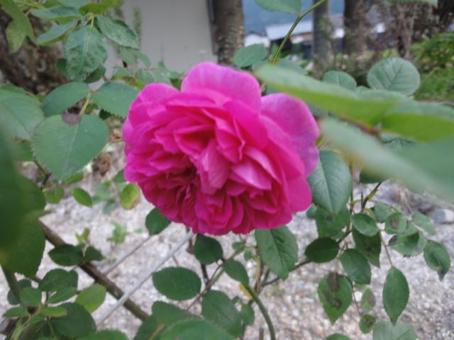バラが咲き始めました_e0201009_0241933.jpg