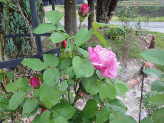 バラが咲き始めました_e0201009_024265.jpg