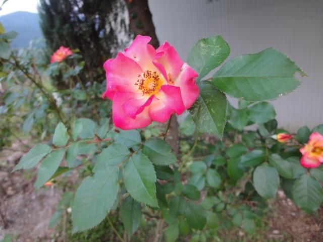 バラが咲き始めました_e0201009_0245264.jpg