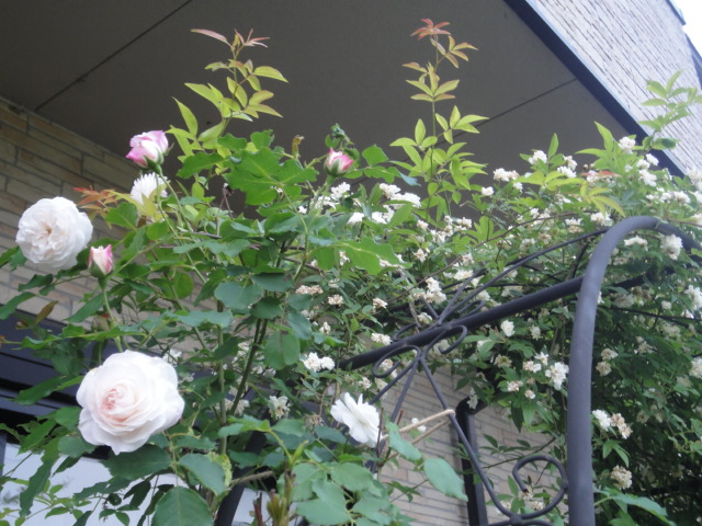 バラが咲き始めました_e0201009_0254265.jpg