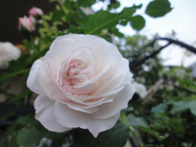 バラが咲き始めました_e0201009_0255894.jpg