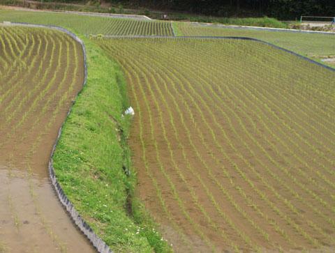 ヤングママさん達の米作り挑戦_e0048413_1873984.jpg