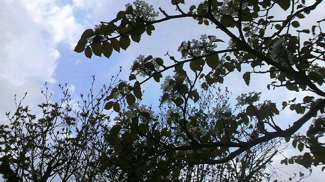 カタバミが咲き誇ってます。ミツバツツジも 開花しはじめた様子。オオカメノキの白い花も目につきます。_c0089831_63039100.jpg