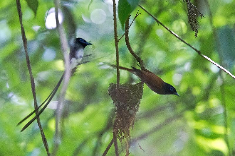 サンコウチョウの巣作り_f0044056_7311812.jpg