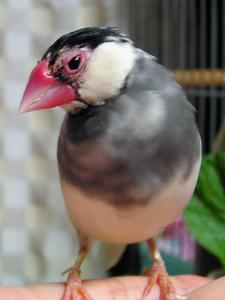 文鳥の近況_a0001971_2471032.jpg