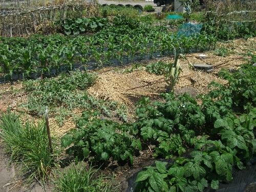 玉葱の収穫第一弾とスイカやオクラなど _f0018078_19294224.jpg