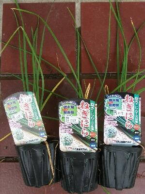 玉葱の収穫第一弾とスイカやオクラなど _f0018078_19301188.jpg